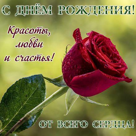 Яркая, красивая открытка с днём рождения куме с текстом, с пожеланием и стихом! Дорогоая кума, с днём рождения! Большая красная роза в капельках росы. Скачать открытку на день рождения женщине бесплатно онлайн! скачать открытку бесплатно | 123ot