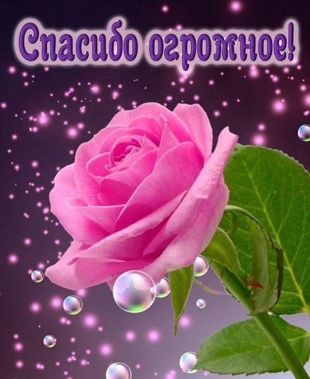 Яркая, красивая открытка спасибо и благодарю с цветами, с текстом, с пожеланием и стихом! Огромная роза в знак признательности. Скачать открытку на тему спасибо и благодарю с цветами бесплатно онлайн! скачать открытку бесплатно   123ot