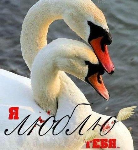 Открытка, картинка, сердце, сердечко, открытка любовь, открытка с любовью, I love you, люблю тебя, Love, открытка с сердечками, открытка для любимой, открытка для любимого, лебеди. Открытки  Открытка, картинка, сердце, сердечко, открытка любовь, открытка с любовью, I love you, люблю тебя, Love, открытка с сердечками, открытка для любимой, открытка для любимого, открытка признание в любви скачать бесплатно онлайн скачать открытку бесплатно | 123ot